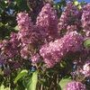 lilac_tree